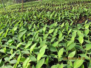 Profitable banana plantation business at Davao Region in Philippines, seeking Business Loan.